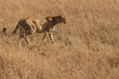 Cheetah Before She Sprints Away