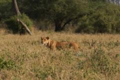 Lioness Stalking Her Prey