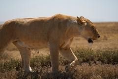 Lioness Hunting Her Prey
