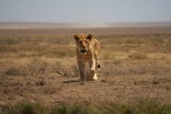Lioness Stalking Us